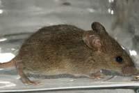 little-rat